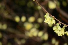 トサミズキの花の画像002