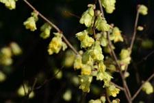 トサミズキの花の画像003