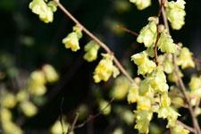 トサミズキの花の画像004