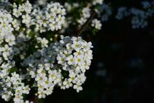 ユキヤナギの花の画像015