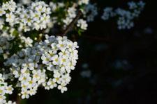 ユキヤナギの花の画像016
