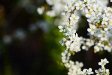 ユキヤナギの花の画像017