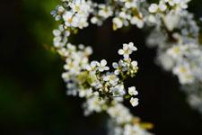 ユキヤナギの花の画像018