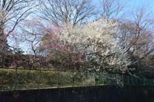 白梅の木の画像004