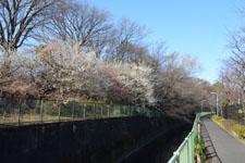 白梅の木の画像005