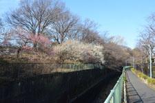 白梅の木の画像006