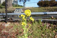 菜の花の花の画像001