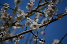 白梅の花の画像022
