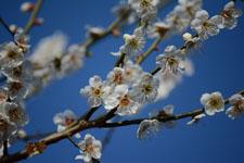 白梅の花の画像023