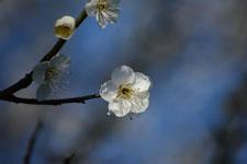 白梅の花の画像024