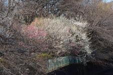 白梅の木の画像007