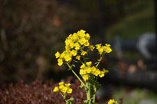 菜の花の画像004