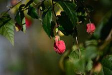 チロリアンランプの花の画像002