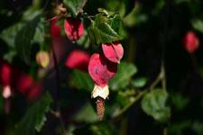 チロリアンランプの花の画像003
