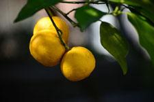 ゆずの果実の画像008