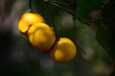 ゆずの果実の画像009