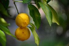 ゆずの果実の画像010