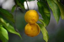 ゆずの果実の画像011