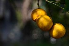 ゆずの果実の画像013