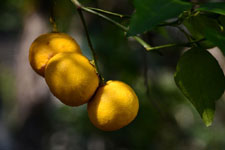 ゆずの果実の画像014