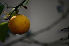 ゆずの果実の画像015