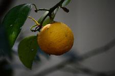 ゆずの果実の画像016