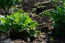 白菜の画像001