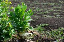 白菜の画像002