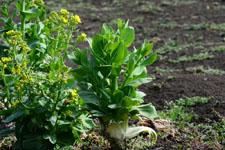 白菜の画像003