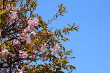 桜の花の画像006