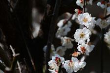白梅の花の画像025