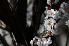 白梅の花の画像026