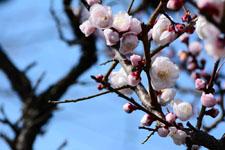 白梅の花の画像027