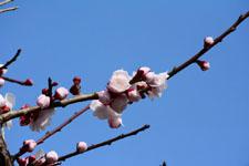 白梅の花の画像030