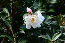 白いツバキの花の画像001