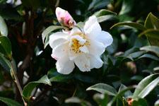 白いツバキの花の画像002