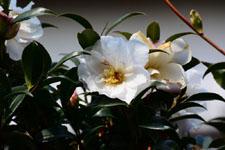 白いツバキの花の画像003