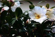 白いツバキの花の画像004