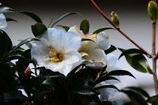 白いツバキの花の画像005