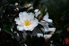 白いツバキの花の画像006