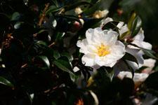 白いツバキの花の画像007
