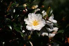 白いツバキの花の画像008