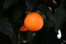 みかんの果実の画像001