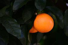 みかんの果実の画像002