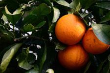 みかんの果実の画像003