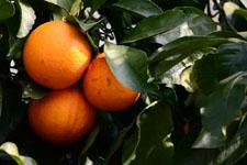 みかんの果実の画像004