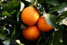 みかんの果実の画像005