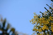 ミモザアカシアの花の画像001