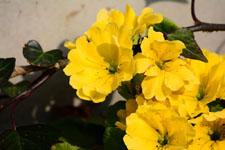 プリムラの花の画像008