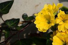 プリムラの花の画像009